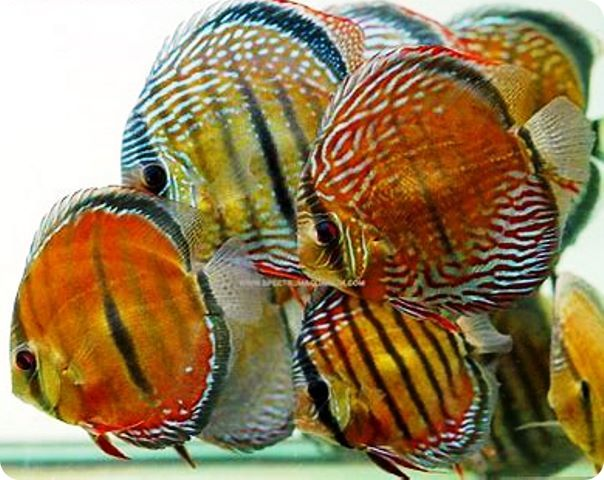 *Assorted Wild Caught Discus - 5-6 inches